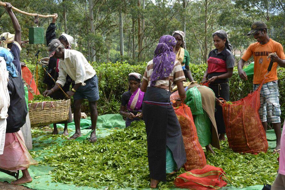 Teepflücker bei der Arbeit