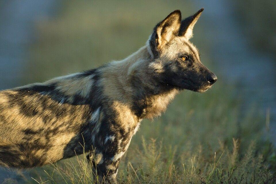 Wildhunde gelten als stark gefährdet