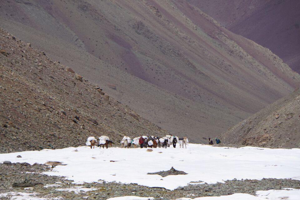 Unsere Pferde in Richtung Basislager Stok Kangri