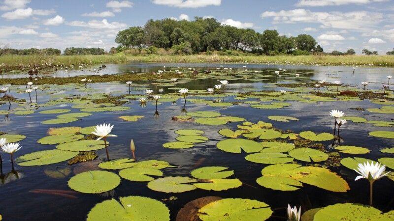 Seerosen im Okavango Delta © Diamir