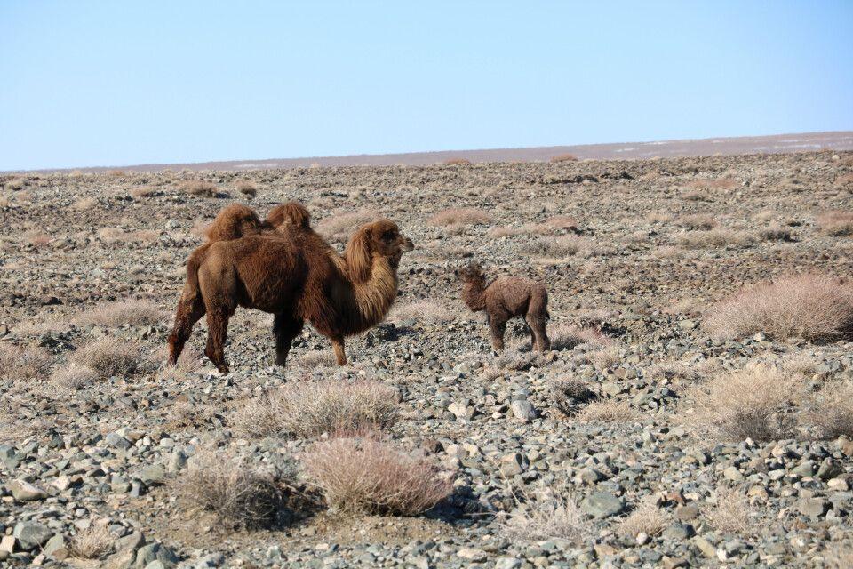 Kamel mit Jungtier