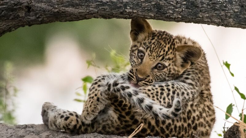 Zum Dahinschmelzen: drei Monate alter Leopard bei der Fellpflege © Diamir