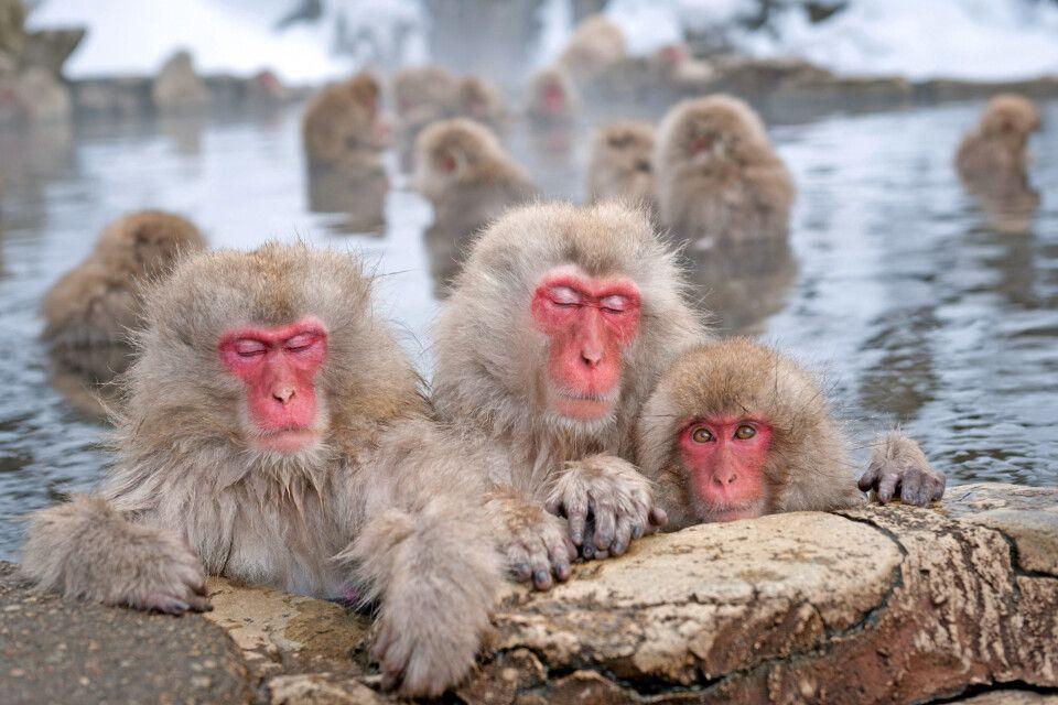 Japan-Makaken entspannen im heißen Onsenbad