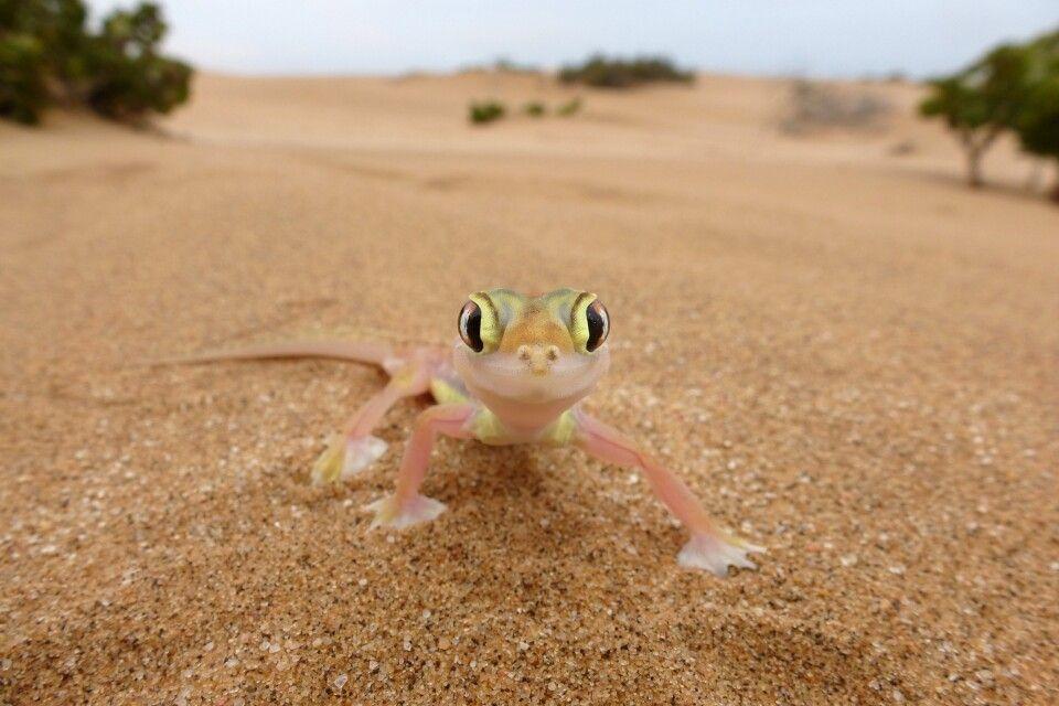 Gecko in der Kalahari