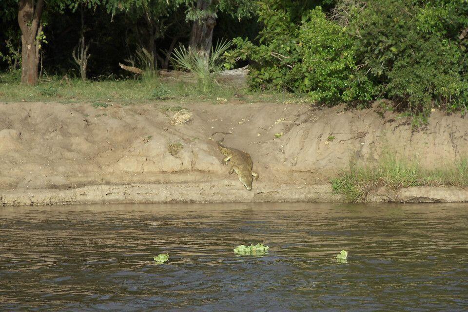 Krokodil am Ufer des Rufiji