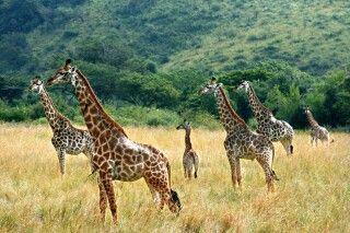 Giraffen im Krüger-Nationalpark