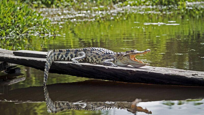 Krokodil im Nam Cat Tien Nationalpark © Diamir