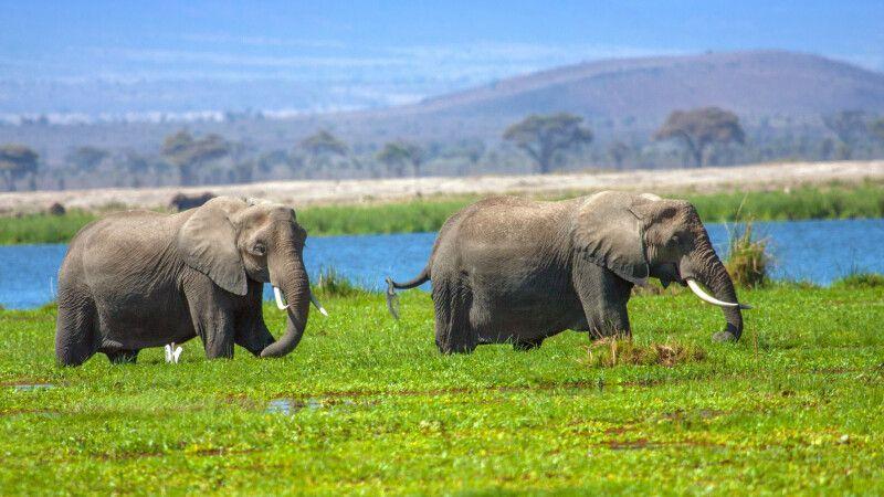 Elefanten im Amboseli © Diamir