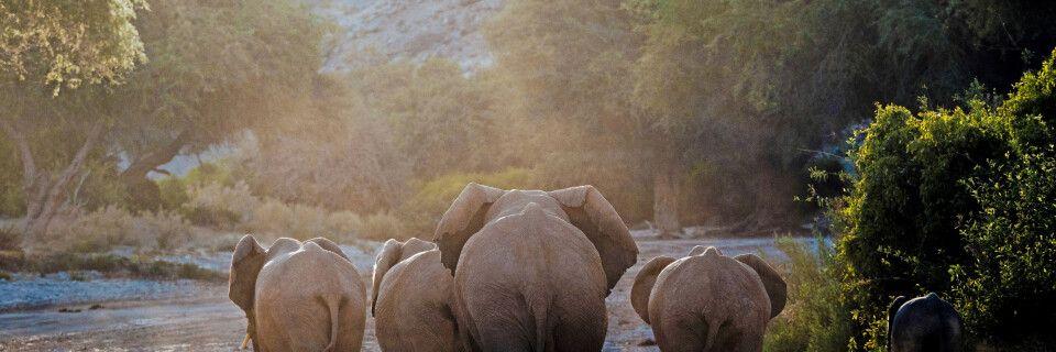 Wüstenelefanten im Norden Namibias