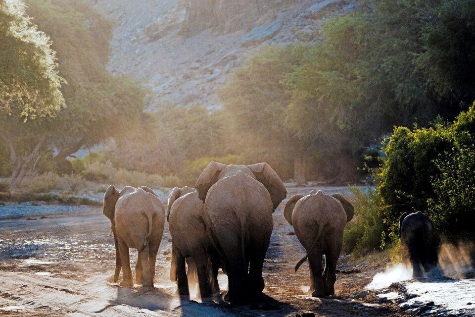 Einzigartiges Erlebnis - die Wüstenelefanten im Norden Namibias