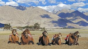 Ladakh Nubra Valley Kamele in den Sanddünen von Diskit