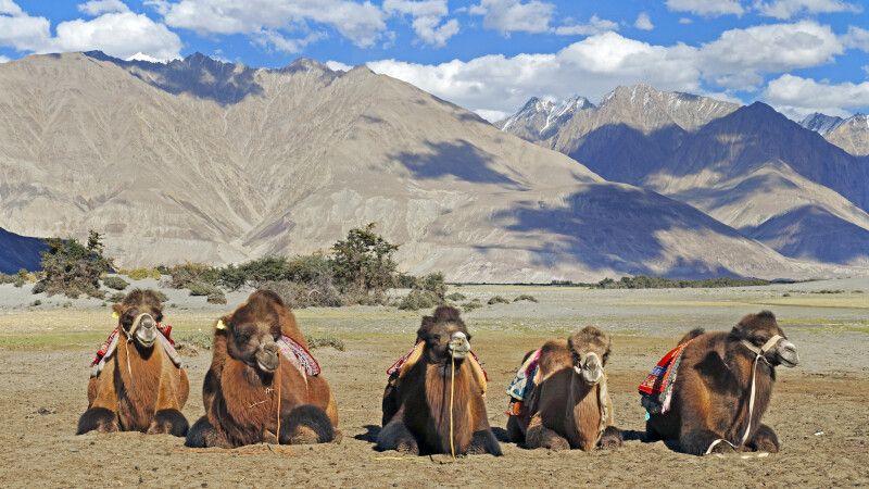 Ladakh Nubra Valley Kamele in den Sanddünen von Diskit © Diamir