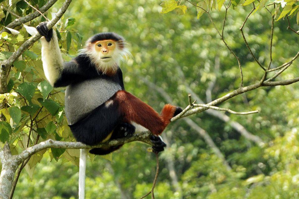 Rotschenkliger Kleideraffe in Baum