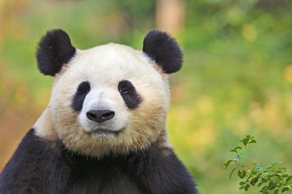 Panda – Bifengxia Naturschutzgebiet