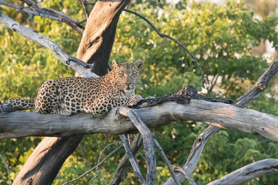 Leopardin, Moremi