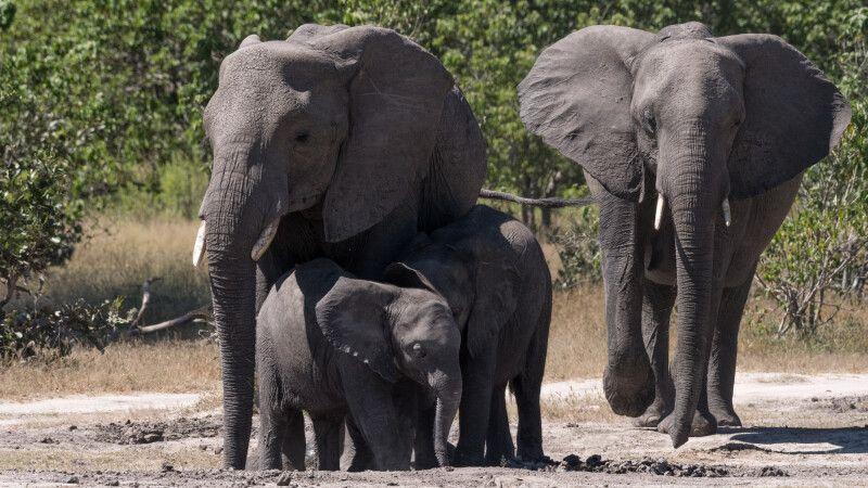 Mmh, Mineralien! Elefantenfamilie bei der Nährstoffaufnahme an einem Schlammloch © Diamir