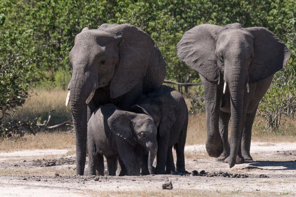 Mmh, Mineralien! Elefantenfamilie bei der Nährstoffaufnahme an einem Schlammloch