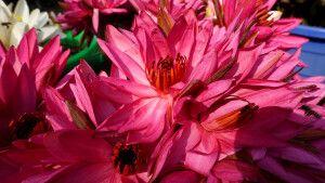 Blühender Lotus