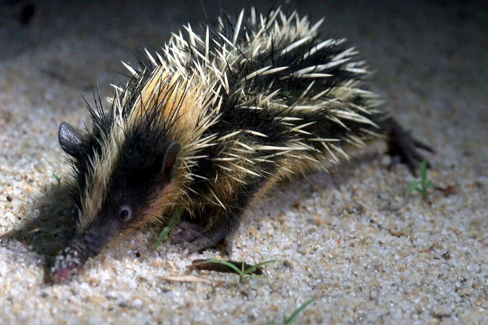 Tenrek_Igelartiges Säugetier auf Madagaskar