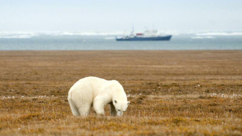 Eisbären sieht man häufig auf Wrangel Island © Diamir