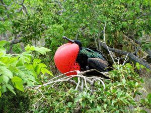 Fregattvogel in Raja Ampat