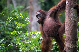 Orang-Utan Weibchen im Tanjung-Puting-Nationalpark