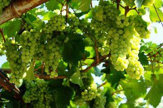 leckere Trauben welche zu Wein verarbeitet werden