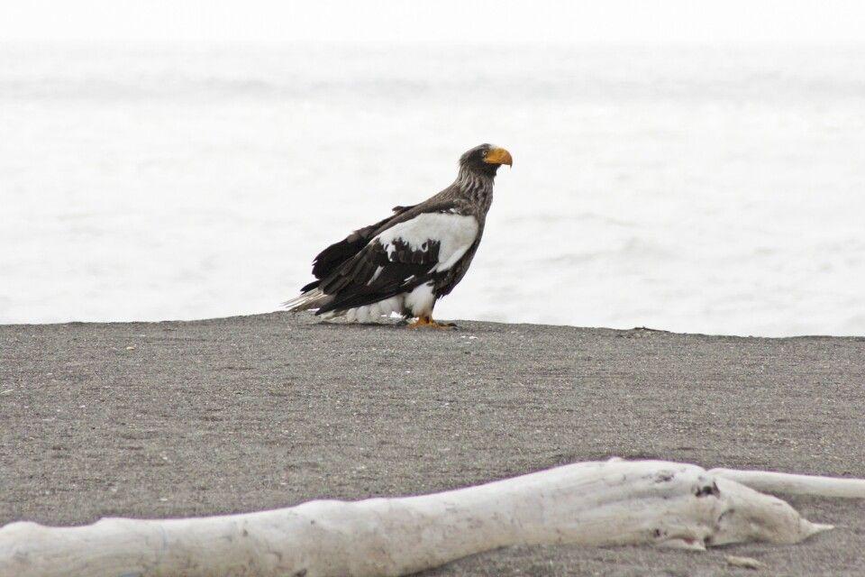 Stellersche Riesenseeadler am Ochtskischen Meer