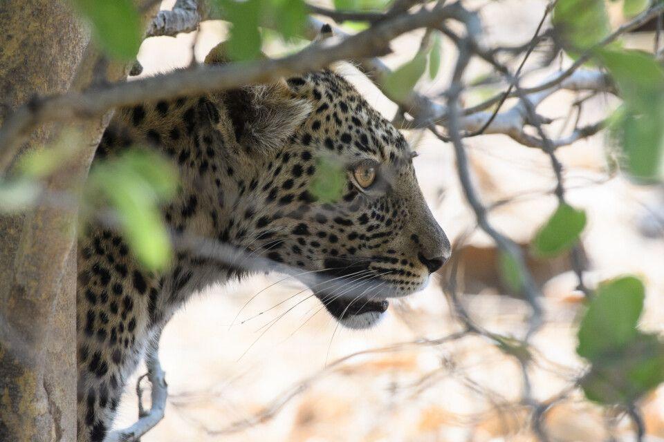 Scheuer Nachwuchs: Der junge Leopard zieht es vor, sich im Gebüsch zu verbergen.