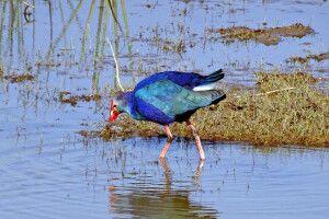 Lila Teichhuhn (Ralle) im Keoladeo Nationalpark (Vogelpark)