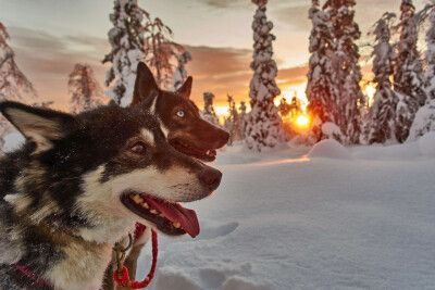 Huskys im Winterzauber