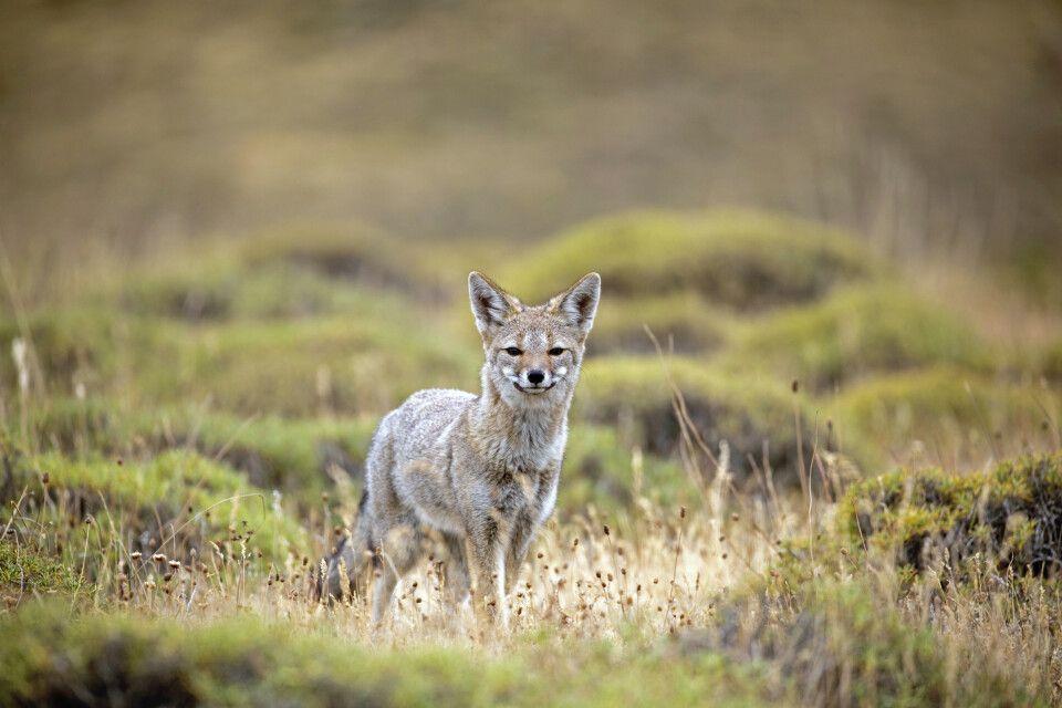 Fuchs im Nationalpark Torres del Paine