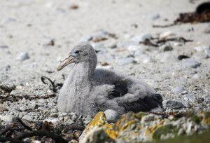 Albatros-Küken am Strand