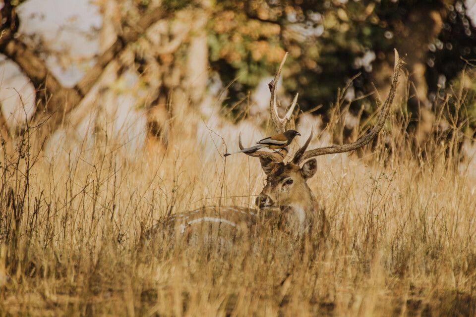 Pench, Tadoba-Nationalpark-Sambar Hirsch