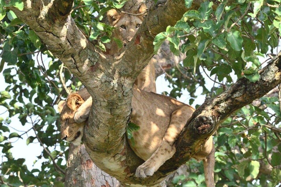 Löwe entspannt im Geäst eines Baumes