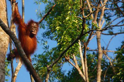 Orang-Utans im Tanjung-Puting-Nationalpark