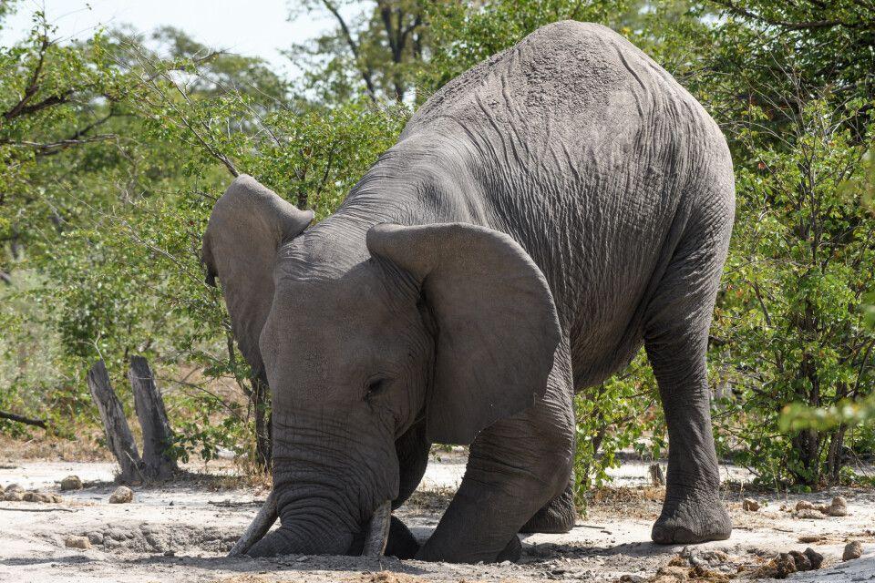Elefant in ungewöhnlicher Pose: Mit Hilfe der Stoßzähne, des Rüssels und der Vorderfüße lockert er an der Salzlecke den Boden, um an Materialien und Salze zu kommen.