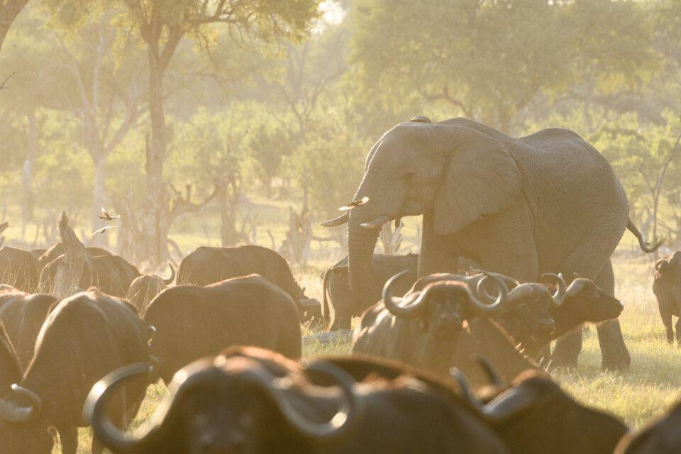 Safari-Idyll am Fluss mit Büffeln und Elefanten: traumhaft schönes Abendlicht in Khwai.