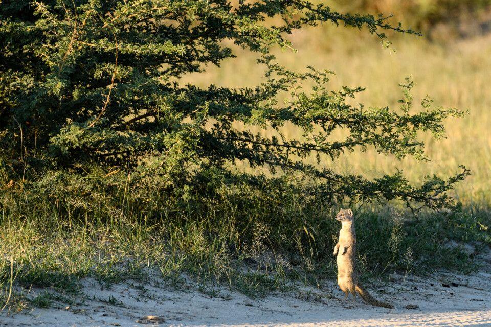 Wachsamkeit sichert das Überleben: Eine Fuchsmanguste macht sich ganz groß.