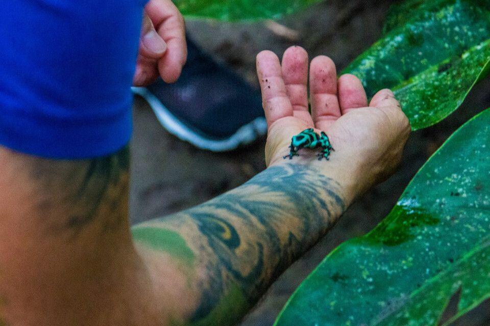 Der Guide zeigt einen giftigen Pfeilgiftfrosch