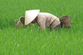Frau bei der Arbeit im Reisfeld