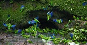 Papageienlecke
