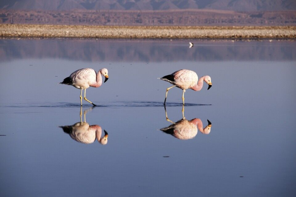Watende Flamingos
