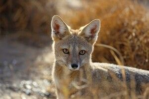 Argentinischer Fuchs