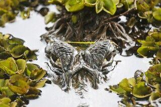 Krokodil auf der Pirsch