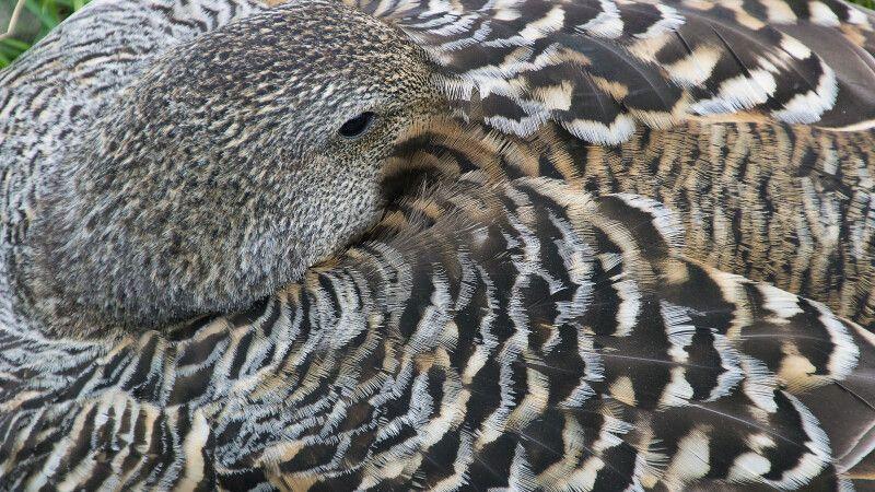 Gut getarnt brütet das Eiderenten-Weibchen © Diamir