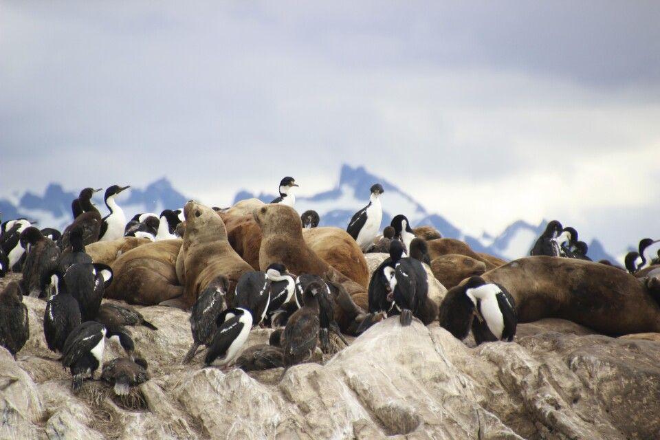 Seelöwen und Koromorane im Beagle Kanal