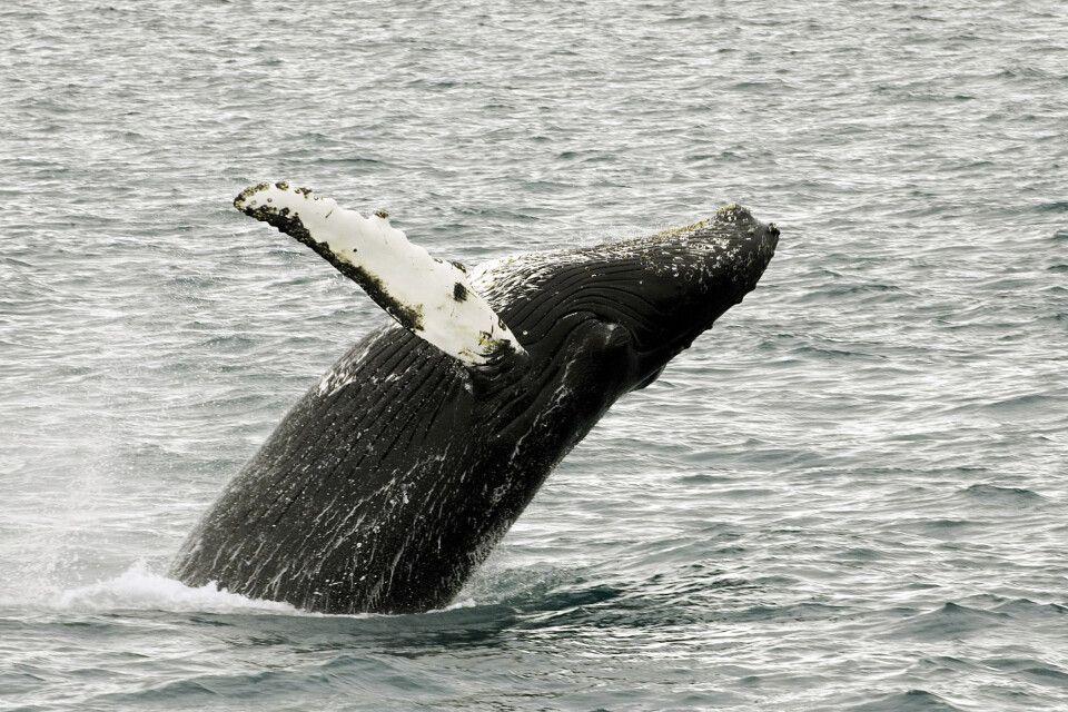 Buckelwal in voller Pracht