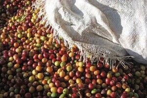Kaffee als Frucht, frisch geerntet