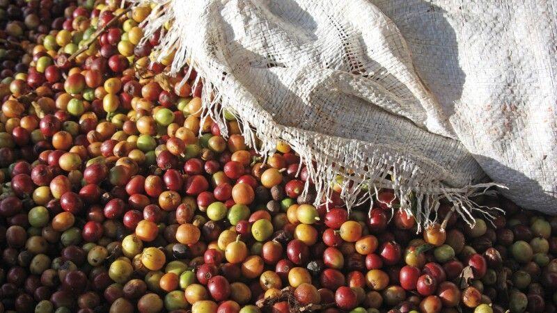 Kaffee als Frucht, frisch geerntet © Diamir
